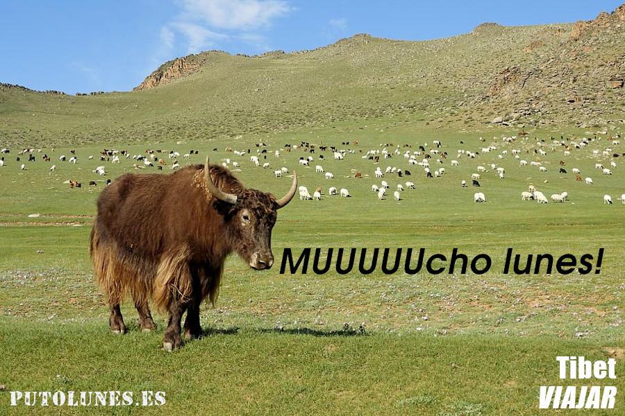 putolunes - Tibet Yak - Muuuuucho lunes!