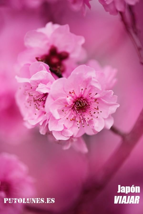 Flores y cerezos en Japón.