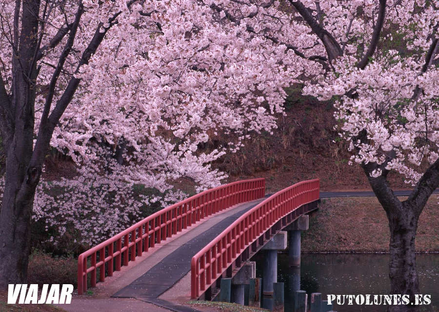 Viaje virtual: sakura en Kyoto
